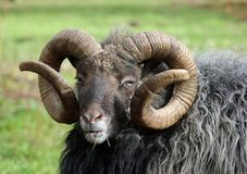 Rare breed sheep Royalty Free Stock Images