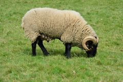 Rare breed sheep in field Stock Photography