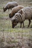 Rare breed of sheep grazing on grassland stock photography