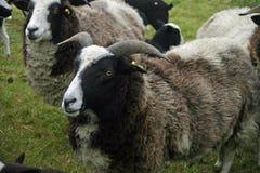 Rare breed sheep Stock Photography