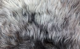 Rare breed sheepskin rugs fleece details view from top. Natural, genuine, rare breed sheepskin rugs fleece details view from top. Grey texture shows different Stock Photo