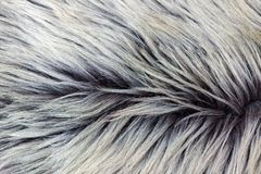 Rare breed sheepskin rugs fleece details view from top. Natural, genuine, rare breed sheepskin rugs fleece details view from top. Grey texture shows different Royalty Free Stock Photos