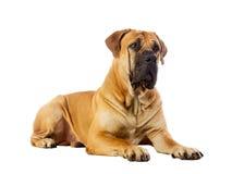 Rare breed South African boerboel posing in studio. Stock Photos