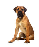 Rare breed South African boerboel posing in studio. Royalty Free Stock Photo