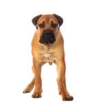 Rare breed South African boerboel posing in studio. Stock Image