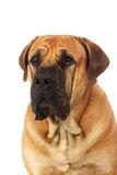 Rare breed South African boerboel posing in studio. Royalty Free Stock Image