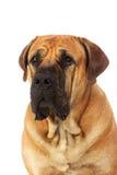 Rare breed South African boerboel posing in studio. Royalty Free Stock Image
