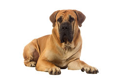 Rare breed South African boerboel posing in studio. Royalty Free Stock Images