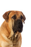 Rare breed South African boerboel posing in studio. Stock Photo
