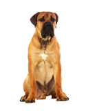 Rare breed South African boerboel posing in studio. Stock Images
