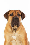 Rare breed South African boerboel posing in studio. Stock Photography