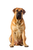 Rare breed South African boerboel posing in studio. Royalty Free Stock Photography