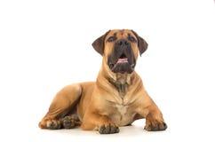 Rare breed South African boerboel puppy posing in studio. Royalty Free Stock Photos