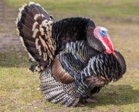 Rare breed Turkey. Photo of a rare breed turkey Royalty Free Stock Photos