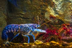 Rare bright blue lobster and red algae underwater. Vibrant blue lobster with colorful marine life background Royalty Free Stock Image