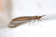 Rare brown lacewing Stock Photo
