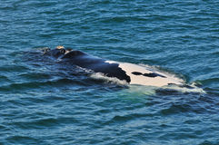 RARE BUET. A very rare , black and white  backed ,Southern right whale Stock Image