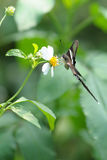 Rare Butterfly (white dragontail) Stock Photography