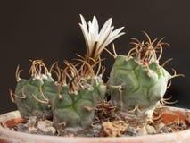 Rare Cactus Stock Image