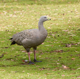 Rare cape Barren goose. Cape Barren goose in grass paddock Stock Image