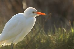 A beautiful Cattle Egret Bubulcus ibis hunting for food in a field where cows are grazing in the UK. A rare Cattle Egret Bubulcus ibis hunting for food in a stock photo