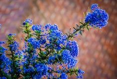 Rare ceanothus flower Stock Image
