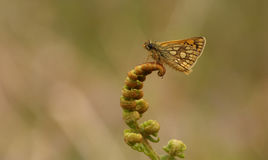 A rare Chequered Skipper Butterfly Carterocephalus palaemon  confined to north-west Scotland . Stock Image