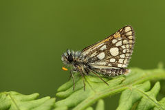 A rare Chequered Skipper Butterfly Carterocephalus palaemon  confined to north-west Scotland . Stock Photo
