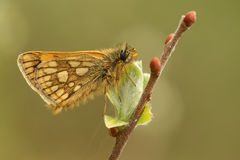 A rare Chequered Skipper Butterfly Carterocephalus palaemon  confined to north-west Scotland . Royalty Free Stock Image