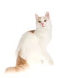 Rare cream Turkish Van on white background Royalty Free Stock Photo