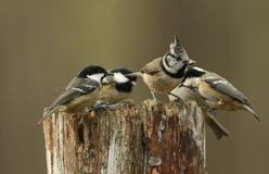 A rare Crested Tit Lophophanes cristatus with Coal Tit Periparus ater in the background perching on a wooden tree stump with f. A rare pretty Crested Tit stock photo