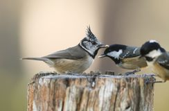 A rare Crested Tit Lophophanes cristatus with Coal Tit Periparus ater in the background perching on a wooden tree stump with f. A stunning rare Crested Tit stock images