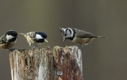A rare Crested Tit Lophophanes cristatus with Coal Tit Periparus ater in the background perching on a wooden tree stump in the. A rare pretty Crested Tit royalty free stock photography