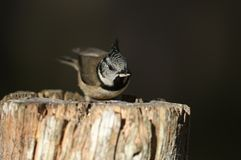 A rare Crested Tit Lophophanes cristatus perching on a wooden tree stump with food in its beak in the Abernathy forest in the hi. A rare pretty Crested Tit royalty free stock photography