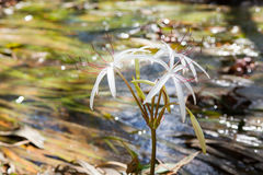 Rare Crinum thaianum or water lily or Water onion Stock Image