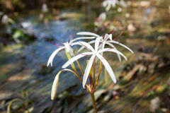 Rare Crinum thaianum or water lily or Water onion Royalty Free Stock Photography