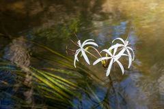 Rare Crinum thaianum or water lily or Water onion Royalty Free Stock Photo