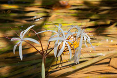 Rare Crinum thaianum or water lily or Water onion Stock Photos
