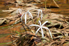Rare Crinum thaianum or water lily or Water onion Stock Photography