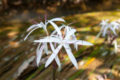 Rare Crinum thaianum or water lily or Water onion Royalty Free Stock Images