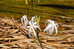 Rare Crinum thaianum or water lily or Water onion Royalty Free Stock Image