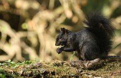 A rare cute Black Squirrel Scirius carolinensis eating a nut sitting on a log in woodland. royalty free stock photos