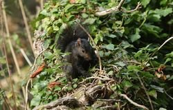 A rare cute Black Squirrel Scirius carolinensis sitting on a log covered in ivy in woodland in the UK. stock images
