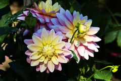 Rare dahlias Stock Images