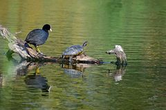 A Rare And Dangerous Terrapin. A Florida Terrapin sitting on a log in a duck pond in the Clot de Galvany natural park in Gran alacant Spain Royalty Free Stock Image