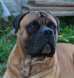 Rare dog breeds. Closeup portrait of a beautiful dog breed South African Boerboel on the green and amber grass background. royalty free stock image