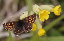 A rare Duke of Burgundy Butterfly Hamearis lucina perched on a cowslip flower. Stock Images