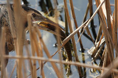 A  rare and elusive Bittern Botaurus stellaris eating a Pike that it has just caught. Royalty Free Stock Image