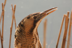 A  rare and elusive Bittern Botaurus stellaris just  after it has finished eating a fish that it had caught. Stock Images