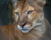 Rare, endangered, Florida panther in profile. The Florida panther is also called a cougar Stock Image